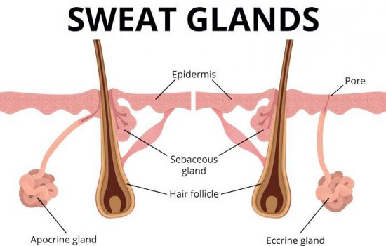 illustration-of-sweat-and-sebaceous-gland